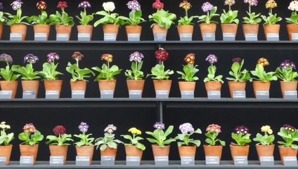 Primevères au Chelsea Flower Show