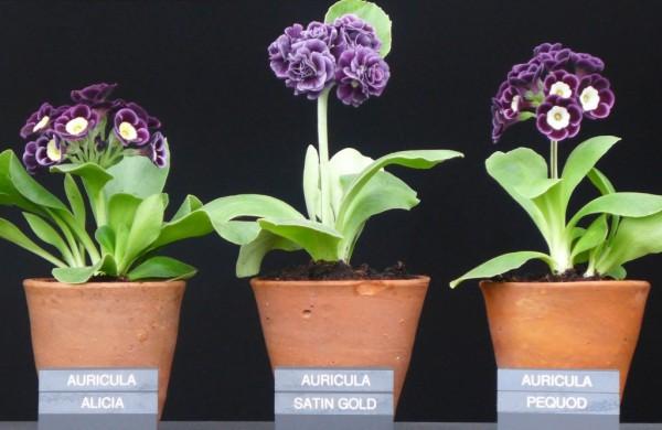 Présentaion de primevères rares au Chelsea Flower Show